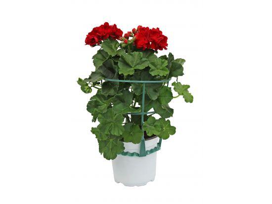 pelargonium peltatum niederrhein g rtner. Black Bedroom Furniture Sets. Home Design Ideas